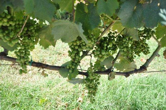 Tuscan Wine Tours by Grape Tours : Chianti grapes