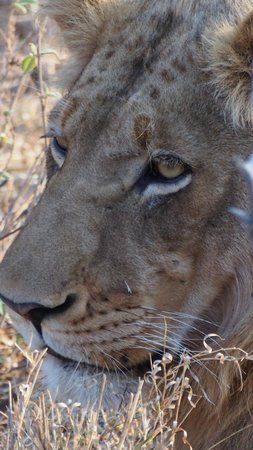 Sausage Tree Safari Camp : Young male in a pride of 6 lions