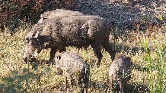 Sausage Tree Safari Camp : Family of wart-hogs