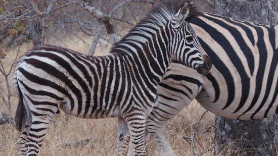Sausage Tree Safari Camp: Baby zebra