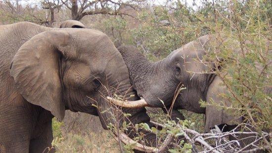 Sausage Tree Safari Camp : Young bulls play-fighting
