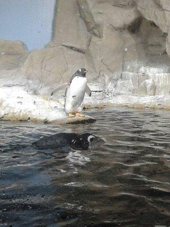 Acquario di Genova : Pinguino