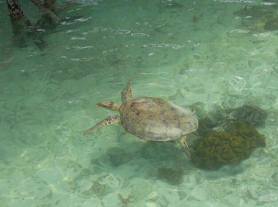 Sipadan Kapalai Dive Resort : huge sea turtle