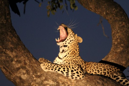 Royal Madikwe Luxury Safari Lodge : First leopard sighting