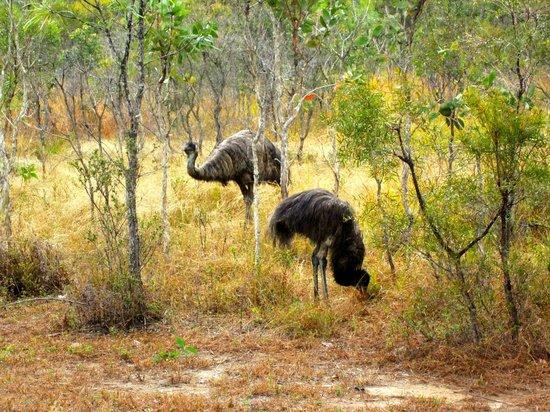 Jabiru Safari Lodge: Visit of Emus