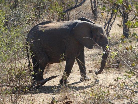 Muweti Bush Lodge: Een olifant passeert onze kamer op weg naar de waterput