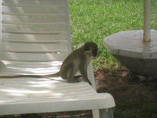Kairaba Beach Hotel: macaco na piscina