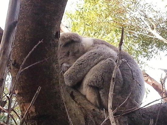 Kangaroo Island Odysseys: kangaroo