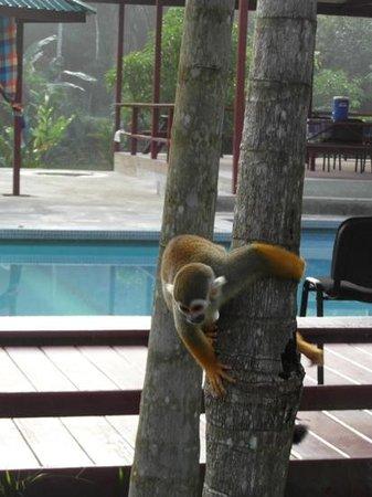 Anaula Nature Resort : Aap tijdens het ontbijt