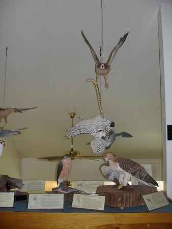 Birds of Vermont Museum : birds of prey