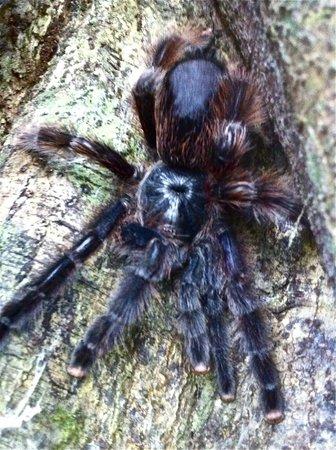Tambopata Ecolodge: Tarantula