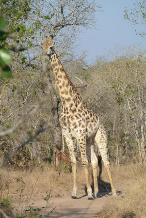 Cheetah Plains: and we bumped into a giraffe