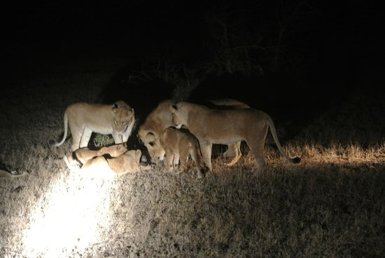 Cheetah Plains: Lions hunting on  a night safari