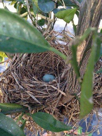 Il Belvedere : Ecco cosa abbiamo trovato tra le piante di limone, un nido di merlo, con l'uovo turchese, bellis