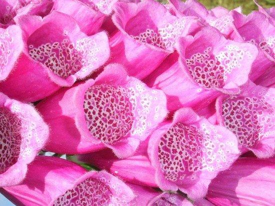 Mendocino Coast Botanical Gardens: flox glove?  closeup.