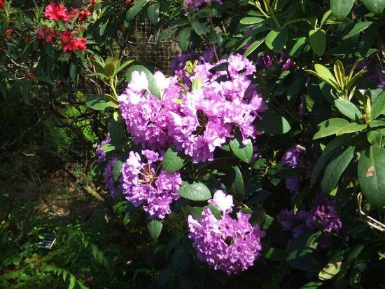 Mendocino Coast Botanical Gardens: More rhodies