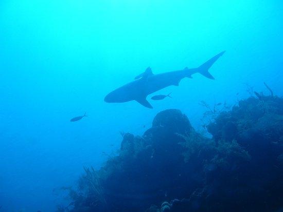 Belize Diving Adventures: Lots of sharks