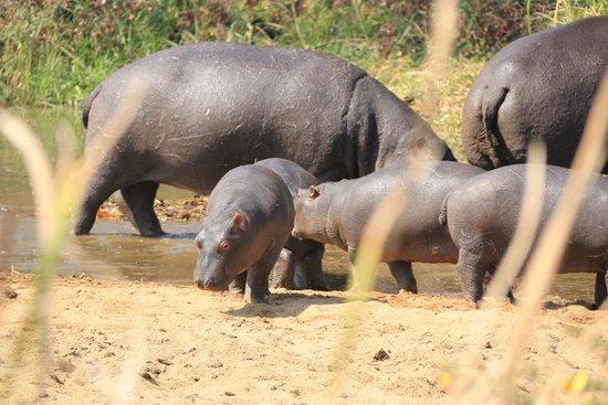 Sabi River Sun Resort : Baby hippo's