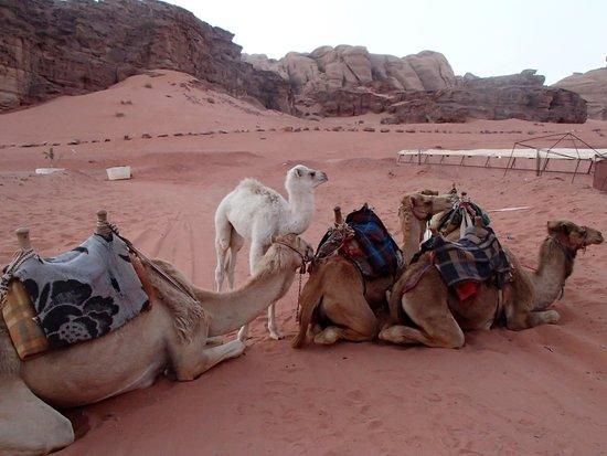 Wadi Rum: Kamelerne fugte med; se det lille hvide føl