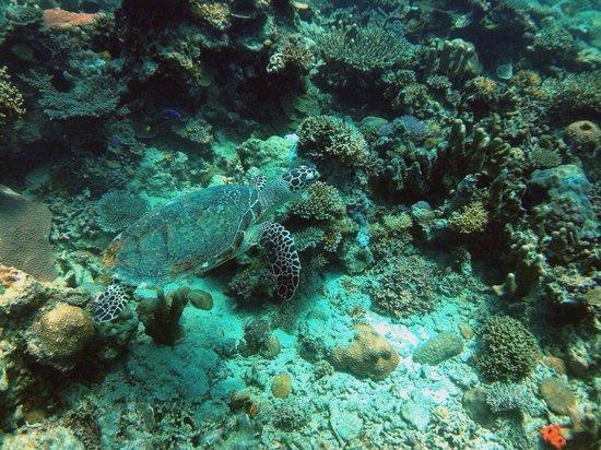 Mantanani Island: sea turtle
