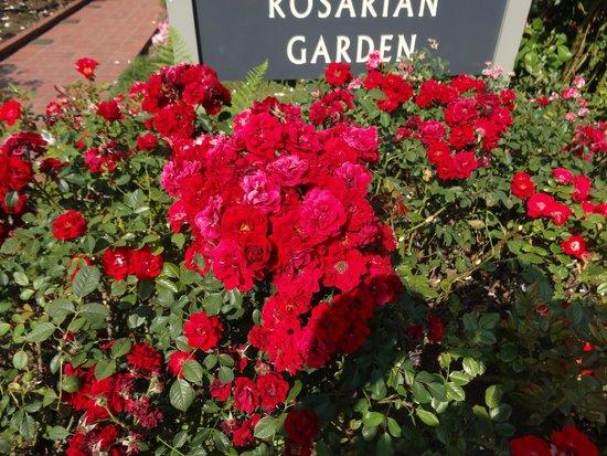 International Rose Test Garden: a photographer's delight