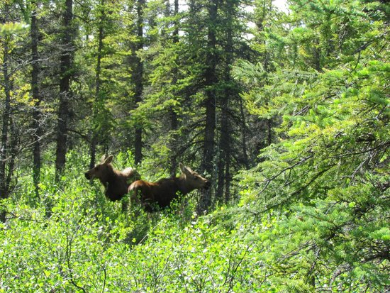 Denali Grizzly Bear Cabins & Campground: Tiere