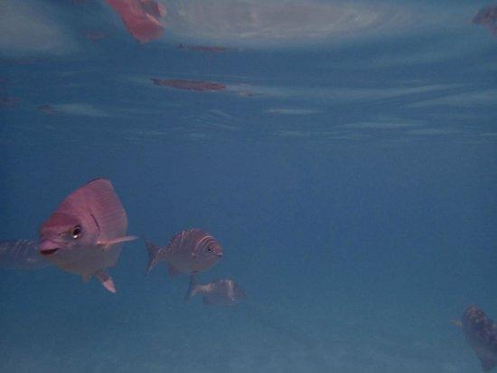 Grand Cayman Marriott Beach Resort : Snorkeling in front of hotel