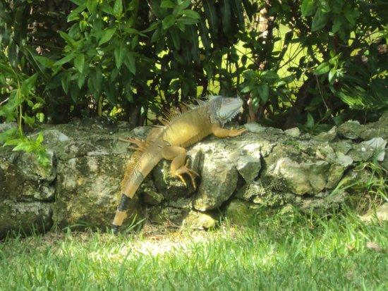 Mayan Palace at Vidanta Riviera Maya: Mais iguana
