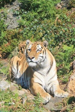 Dyreparken: Sibirsk Tiger