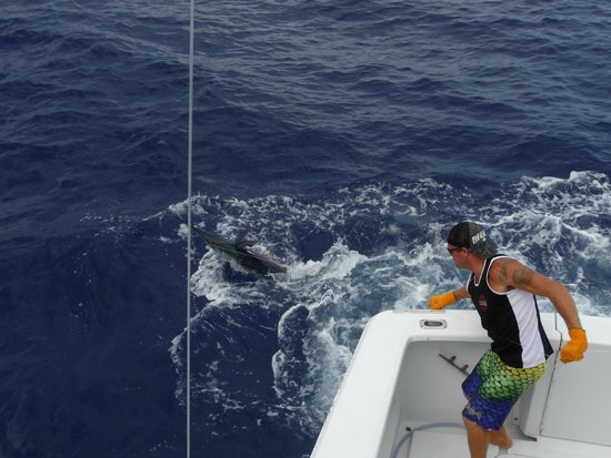 Hooked Up Sportfishing: Matt bringing him in to tag him!