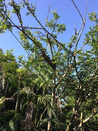 Iberostar Cozumel: Iguanas descansan en ramas de los árboles