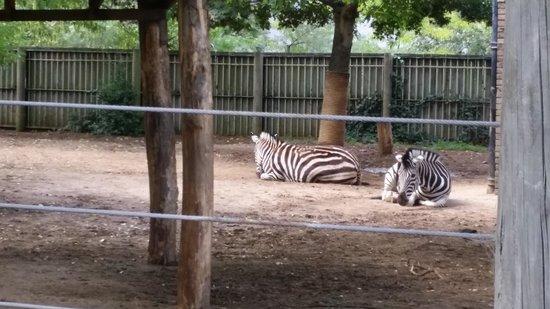 ZSL London Zoo: zebras in their habitat