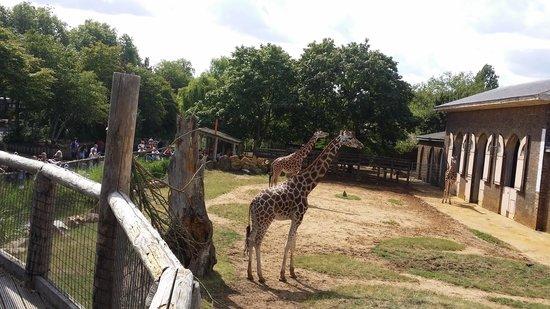 ZSL London Zoo: amazing giraffes