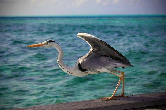 Komandoo Maldives Island Resort: Ein startender Fischreiher