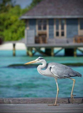 Komandoo Maldives Island Resort: Fischreiher vor dem Aqua Fine Dining Restaurant