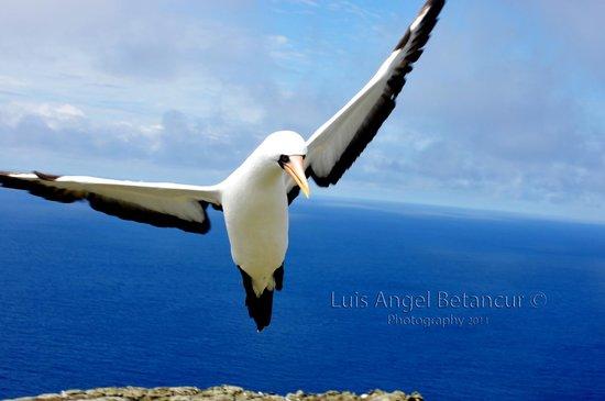 Malpelo Island, Colombia: Blue mask piquero bird.