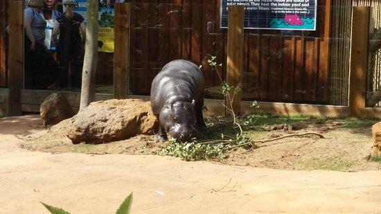 ZSL London Zoo: meet the hippo!