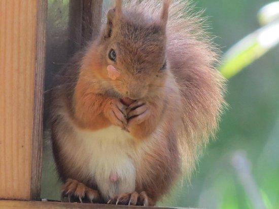Braemar Lodge: Red Squirrel in Braemar