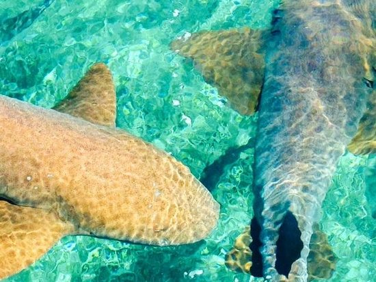Raggamuffin Tours - Day Tours: Some nurse sharks at Sharak and Ray Alley