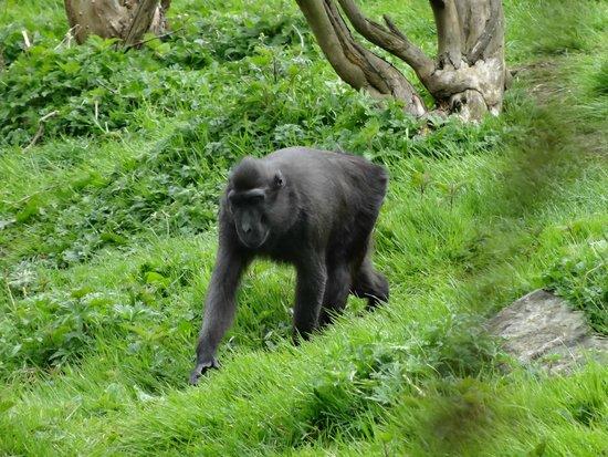 Dublin Zoo: Chimpanzee