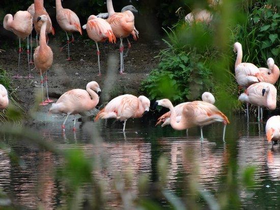 Dublin Zoo: Flamingos