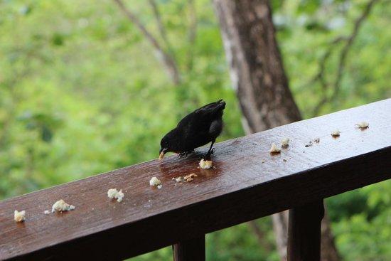 Manicou River: bird visiting us