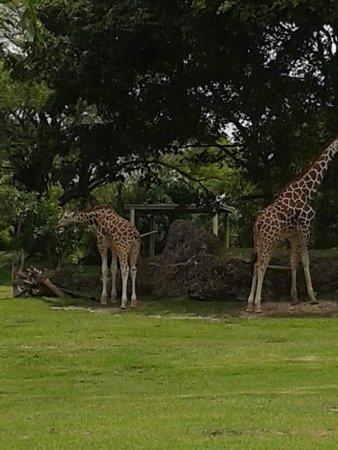Zoo Miami: giraffe