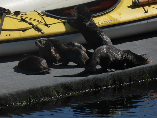April Point Resort & Spa: River otters at the April Point marina