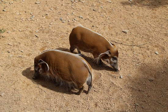 Jersey Zoo : Red River Hogs