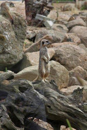 Jersey Zoo: Meerkat