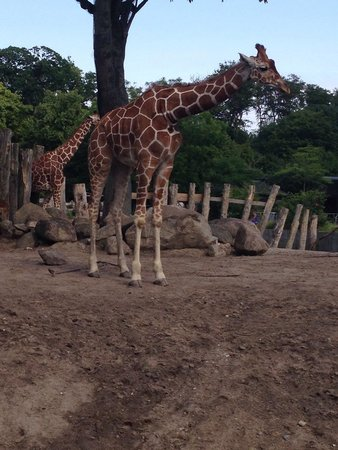 Copenhagen Zoo: Giraffe