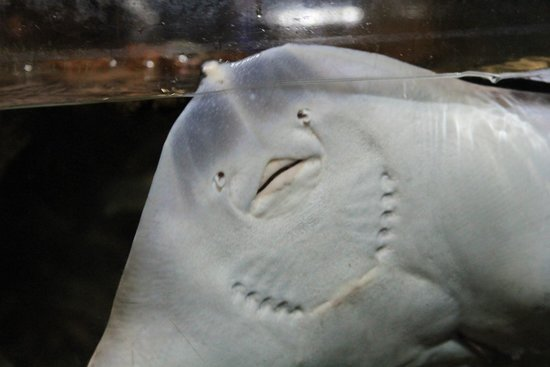 Blue Planet Aquarium : Stingray