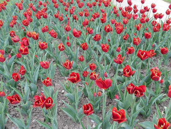 Villa Taranto: tulipani