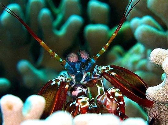 Wakatobi Dive Resort : Mantis shrimp are a common site on the reefs at Wakatobi.